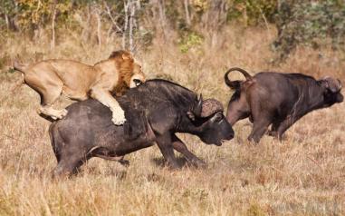 image lion hunting 2